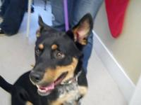Shepherd - 8461 Sammy - Medium - Adult - Male - Dog