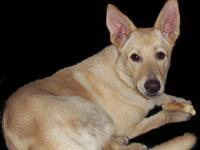 Shepherd - Adrian - Medium - Young - Male - Dog Adrian