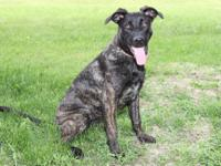 Shepherd - Armani - Extra Large - Young - Female - Dog