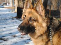 Shepherd - Athena - Large - Young - Female - Dog Meet
