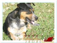 Shepherd - Bear - Large - Adult - Male - Dog My