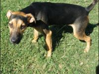 Shepherd - Boots - Medium - Young - Male - Dog Born est