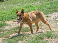 Shepherd - Brownie - Medium - Young - Female - Dog