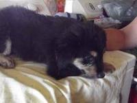 Shepherd - Capone - Medium - Baby - Male - Dog