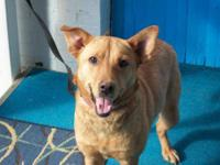 Shepherd - Cindy - Medium - Young - Female - Dog ANIMAL