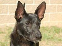 Shepherd - Coal - Medium - Young - Male - Dog 1 year