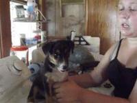 Shepherd - Collete - Medium - Baby - Female - Dog