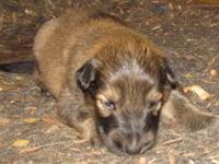 Collieshepherd Mix Puppy For Sale In Clearwater Minnesota