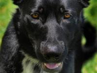 Shepherd - Data - Large - Young - Male - Dog Data is a