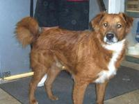 Shepherd - Dillon - Medium - Adult - Male - Dog Dillon