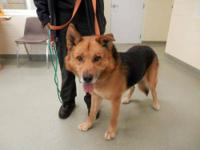 Shepherd - Duke-urgent! - Large - Adult - Male - Dog My