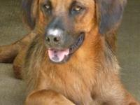 Shepherd - Dustin - Medium - Adult - Male - Dog 7/23/12
