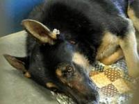 Shepherd - Dusty - Large - Adult - Male - Dog Dusty is