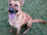 Shepherd - Emma - Large - Young - Female - Dog Please
