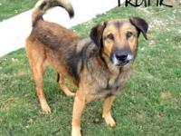 Shepherd - Frank - Large - Adult - Male - Dog Frank is