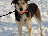 Shepherd - General - Medium - Young - Male - Dog