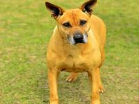 Shepherd - Ginger - Large - Adult - Female - Dog Ginger