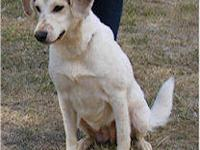 Shepherd - Goldie - Medium - Adult - Female - Dog