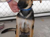 Shepherd - Gunner - Medium - Baby - Male - Dog Gunner
