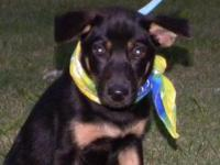 Shepherd - Gypsy - Medium - Baby - Female - Dog Gypsy,