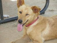 Shepherd - Honey - $35 In Foster Care - Large - Adult -