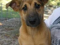 Shepherd - Hope - Medium - Baby - Female - Dog Hope is