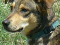 Shepherd - Jasper - Medium - Young - Male - Dog