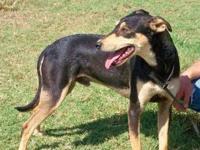 Shepherd - Joe - Medium - Young - Male - Dog Joe is a