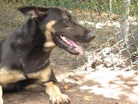 Shepherd - K12144 Rose - Medium - Adult - Female - Dog
