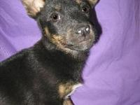 Shepherd - Kasey - Large - Baby - Female - Dog Come see