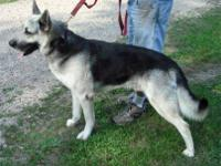 Shepherd - Luke - Large - Adult - Male - Dog
