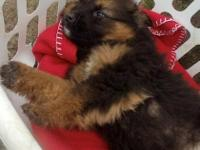 Shepherd - Maxi - Large - Baby - Female - Dog Hi I am