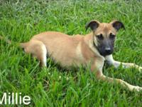 Shepherd - Millie In Foster Home - Medium - Baby -