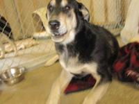 Shepherd - Milo - Large - Adult - Male - Dog MILO LOOKS