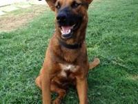 Shepherd - Missy - Large - Young - Female - Dog
