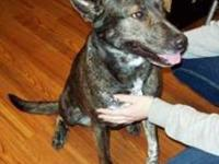 Shepherd - Mo - Large - Adult - Female - Dog Mo has