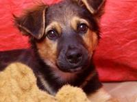 Shepherd - Newton - Medium - Baby - Male - Dog