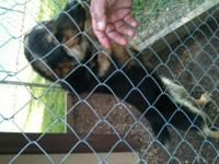 Shepherd - Nosie - Medium - Young - Male - Dog Hi, I'm