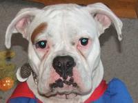 Shepherd - Penny - Large - Adult - Female - Dog Penny