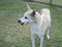 Shepherd - Poppy - Large - Adult - Male - Dog Poppy has