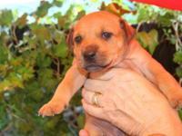 Shepherd - Puppy 2 - Large - Baby - Female - Dog PUPPY