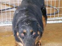 Shepherd - Rico - Large - Adult - Male - Dog