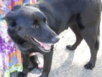 Shepherd - Riley - Large - Adult - Male - Dog July 2,