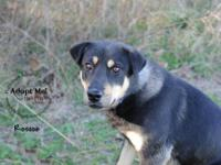 Shepherd - Roscoe #6871 - Large - Adult - Male - Dog