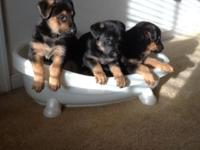 Two females, one male. 6 weeks old (ready for new home