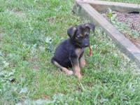Shepherd - Royal - Large - Baby - Female - Dog Royal: 6