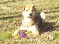 Shepherd - Sadie - Medium - Young - Female - Dog Sadie