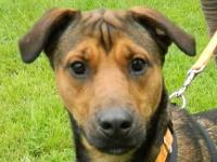 Shepherd - Sandy - Medium - Young - Female - Dog Sandi