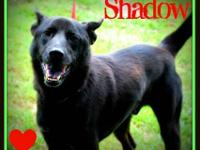 Shepherd - Shadow - Large - Senior - Male - Dog Hi, my