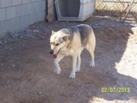 Shepherd - Shira - Large - Adult - Female - Dog